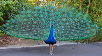 Image of a peacock crossing a road