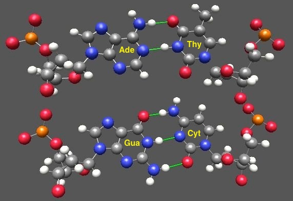 basepairing of adenine with thymine; guanine with cytosine