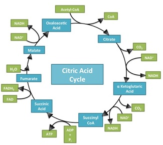 Classical citric acid cycle image